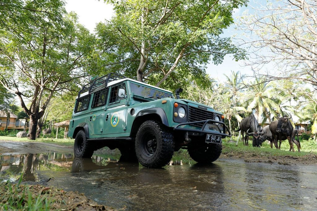 Bali-Safari-park-jeep-water-bufaloo